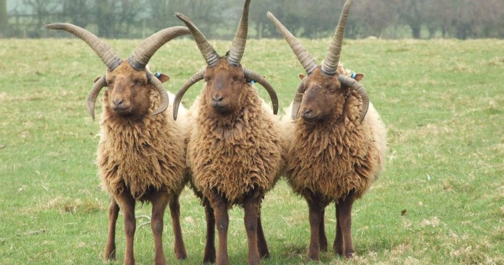 A trio of brown Manx Loaghtan sheep, all with double sets of horns.